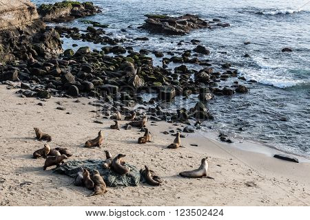 A large group of seals gathered on the beach at La Jolla Cove in La Jolla, California.