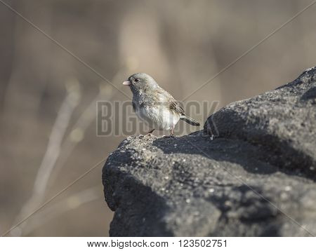 dark-eyed juncoJunco hyemalis is the best-known species of the juncos