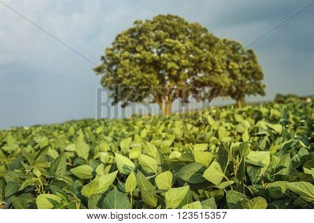 Field of soybeans, shallow focus, focus on leaves in foreground