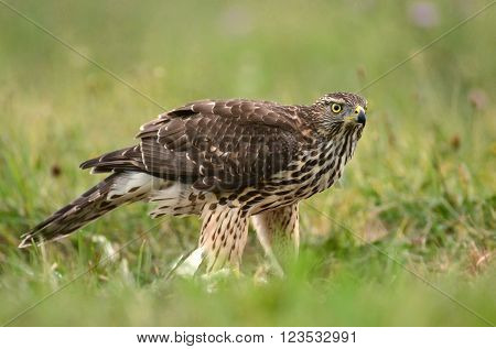 Young Sparrow Hawk