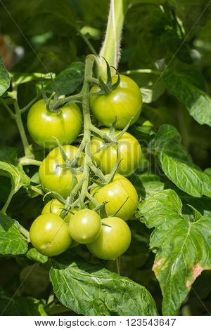 Bunch of ripening tomatoes hanging on a thick stalk in a large specialized Dutch tomato nursery. The tomato plants are grown in a greenhouse on substrate and with liquid food.