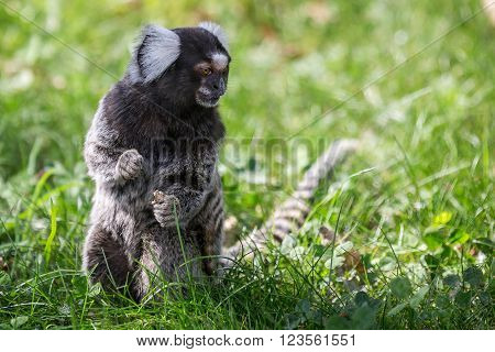 Marmoset monkey playing on grass in the summer
