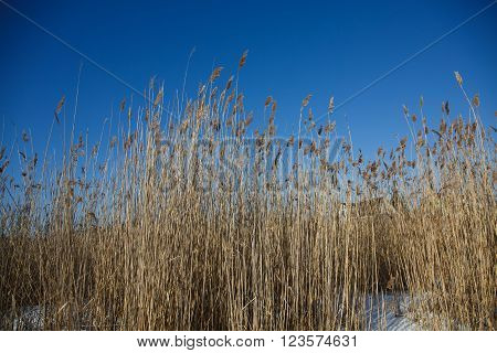 Landscape spikes grass sedge dry on the background of blue sky. The grass stems in winter snow frosty morning.