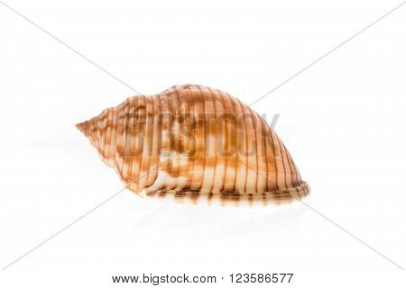 Helmet sea shell - Galeodea echinophora f. adriatica. Empty house of sea snail. Sea shell with twisted canal from Adriatic or Mediterranean Sea - Croatia Greece or Spain. Isolated on white