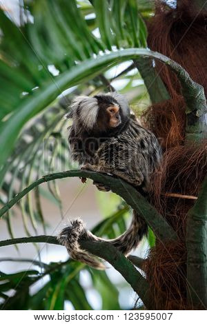Common marmoset or Callithrix sitting on a green branch