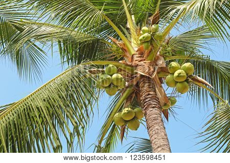 Closeup of sweet coconut palm tree with many young fruit on blue sky