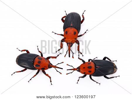 Red weevil insect on white background , animal