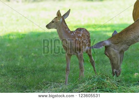 Little cute fawn standing near its grazing mother deer in green summer wood ** Note: Soft Focus at 100%, best at smaller sizes