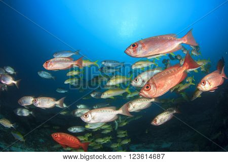 Red Bigeye fish in ocean