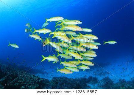 Fish school in ocean: Yellowfin goatfishes