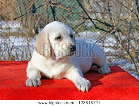 The Little Labrador Puppy On A Red Background