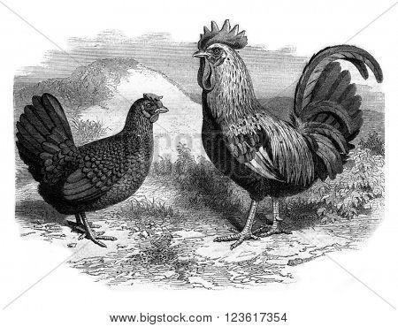 Rooster and Hen Dorking, vintage engraved illustration. Magasin Pittoresque 1880.
