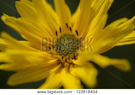 Deltoid Balsamroot (Balsamorhiza deltoidea)
