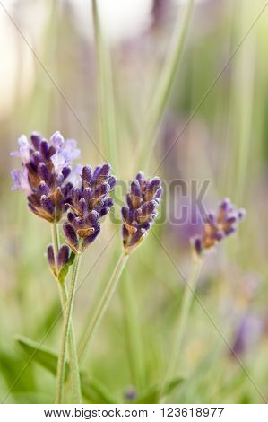 Detail of scented lavender flowers field in soft purple and lilac colors with shallow depth of field. Natural background. ** Note: Visible grain at 100%, best at smaller sizes