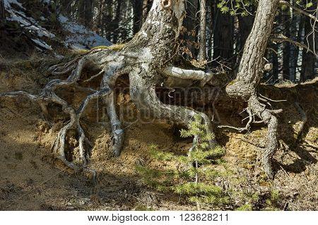 Fantastic tree rooty in Vitosha mountain at winter, Bulgaria