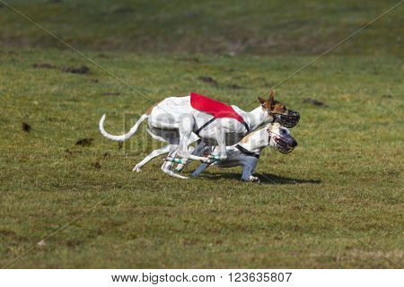 Duel of two Magyar Agar hounds at coursing race