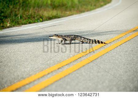 American Alligator Crossing The Road