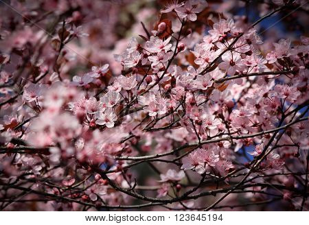 Beautiful blossom of a tree with flowers and branches sway in a breeze