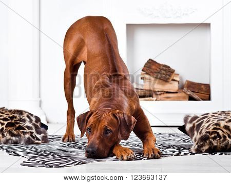 Rhodesian Ridgeback dog bending in front of a fireplace with his ridge revealed