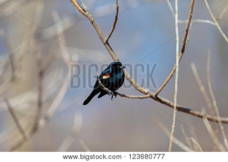 One of the most abundant birds across North America, and one of the most boldly colored, the Red-winged Blackbird is a familiar sight atop cattails, along soggy roadsides, and on telephone wires. Glossy-black males have scarlet-and-yellow shoulder patches