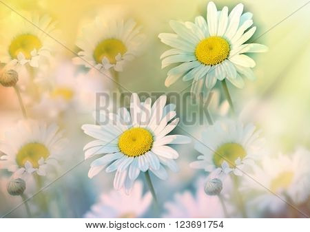 Beautiful daisy flower in meadow bathed in spring sunshine - daisy flowers lit by sun rays (sunbeams)