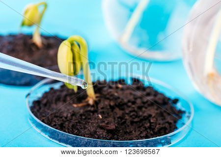 Seedling growing in petri dish in biotechnological laboratory. laboratory for biotechnological testing of sprouts.