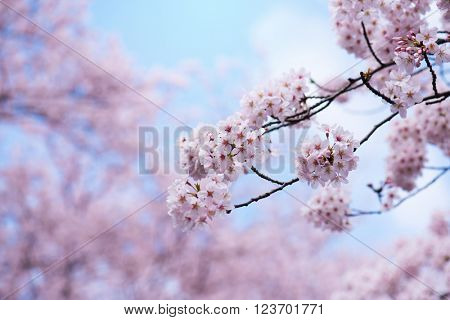 Cherry blossoms in full bloom. Soft pastel pink cherry blossom flowers and beautiful pastel blue spring sky in background.