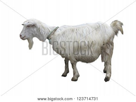 Cute goat isolated on a white background