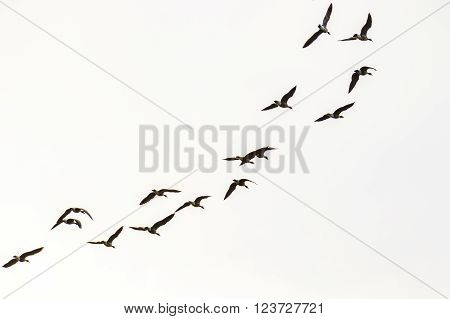 A flock of Canada geese flying in the sky.