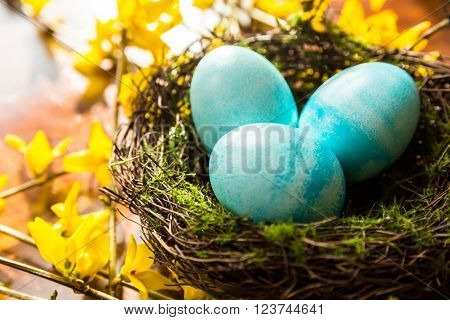 Spring Easter Nest with Blue Colored Eggs on Yellow Forsythia Branches in Bloom. Vibrant Spring Colors. Garden and Nature Scene Symbol of New Life.