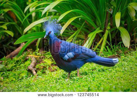Western Victorian crowned-pigeon in Kuala Lumpur, KL Bird Park, Malaysia