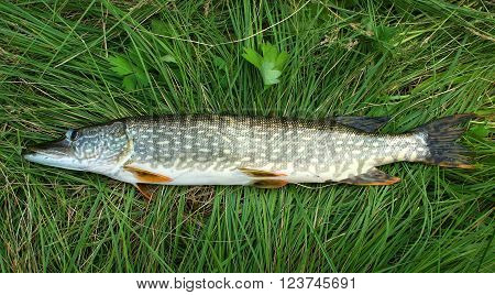Caught fresh pike lying on the green grass