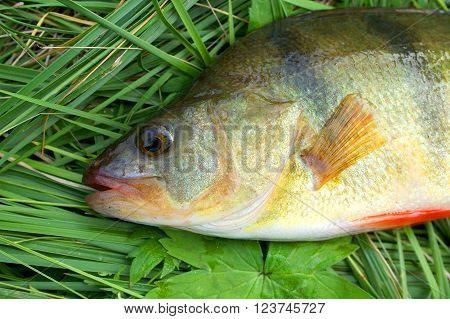 Caught fresh perch lies on a green grass
