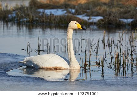 Whooper swan (Cygnus Cygnus) swimming in icy lake in the spring in Finland.