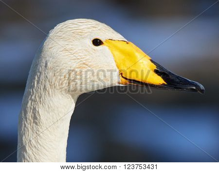 Whooper swan (Cygnus Cygnus) head in closeup shot. Beatiful white bird looks like smiling in the spring.