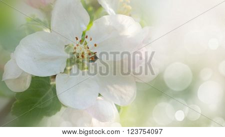Blossoming apple. Branch of apple tree in bloom in the spring