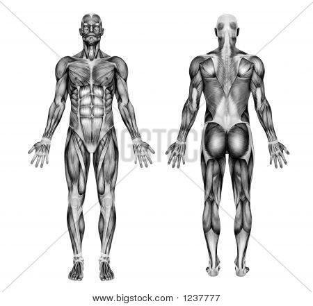Male Muscles - Pencil Drawing Style