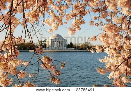 Jefferson Memorial framed by cherry blossoms in Washington D.C.