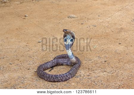 King cobra sliding along the sand .The world's longest venomous snake .