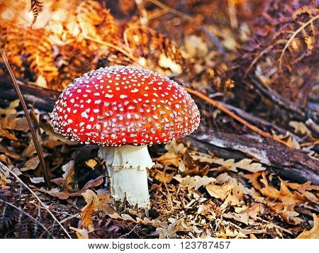 Poisonous mushroom from red hat vermilion lit with small white or yellow warts. It is the classic fairytale fungus. In this composition we find him wrapped in a blanket of dry leaves of the forest floor.
