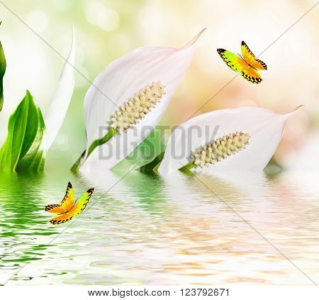 White delicate flowers Spathiphyllum. insects butterfly. nature