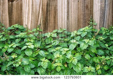 Patchouli Plant In Front Of Brown Fence