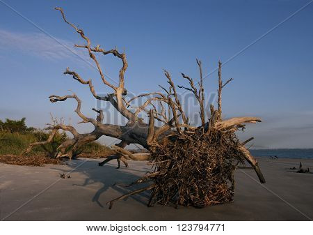 An old oak tree uprooted and laying on its side on a beach of Jekyll Island, Georgia