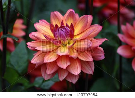 Beautiful Dahlia Flower in Yellow Orange Pink