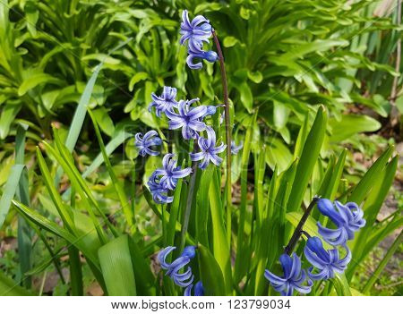 Little Blue Flowers Of Hyacinth Romantic and delicate spring flower Hyacinth ** Note: Visible grain at 100%, best at smaller sizes
