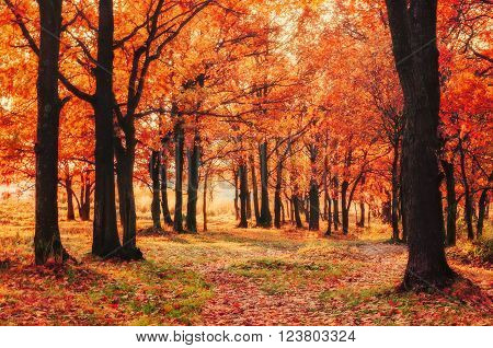 Autumn colored natural landscape - oak forest in autumn sunny evening at the sunset. Soft focus and creative filter processing