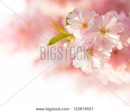 Spring Cherry blossoms, close - up.