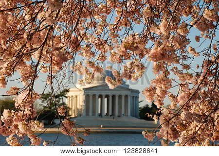 Jefferson memorial in the background with blooming cherry trees framing the building