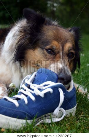 Dog With Blue Shoe
