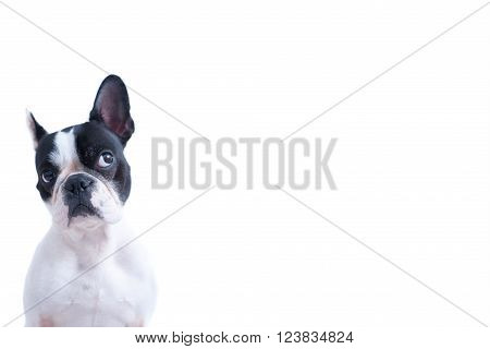 Portrait of funny black and white Frenchie looking up against of white background. Isolated. Copy space available